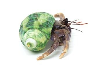 Can A Hermit Crab Survive A Fall?
