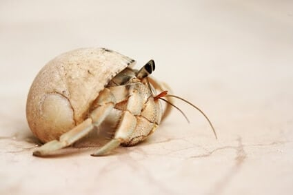 hermit crab fell off table