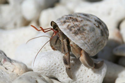 can hermit crabs climb out tank?