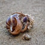 can snails live with hermit crabs?