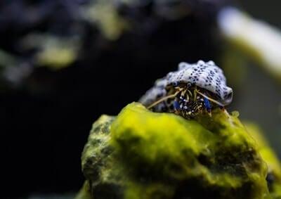 do hermit crabs like to climb?