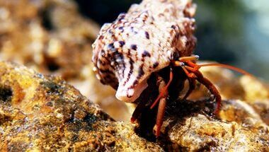 what do hermit crabs climb on?