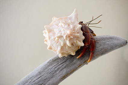 why do hermit crabs climb on each other?