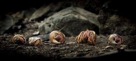 will hermit crabs kill snails?