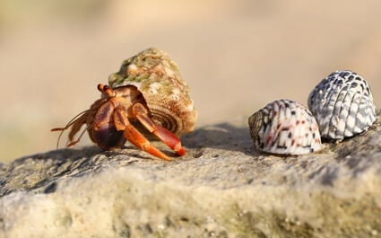 drowning hermit crab care