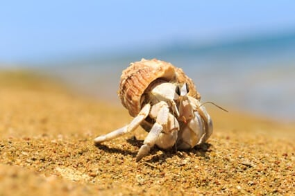 hermit crab white after molting