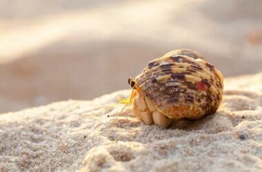 why is my hermit crab white?